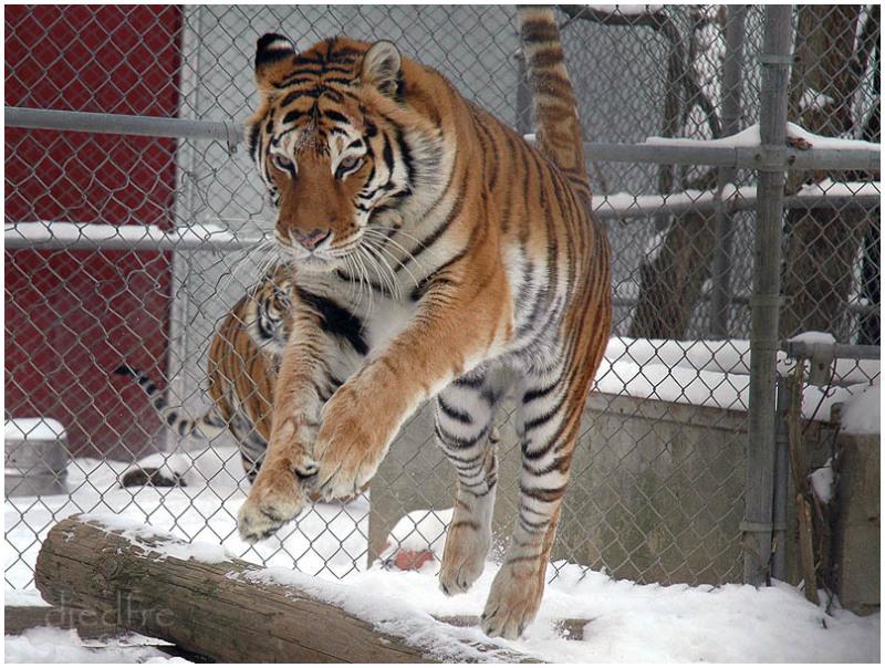 floating tiger hidden raj