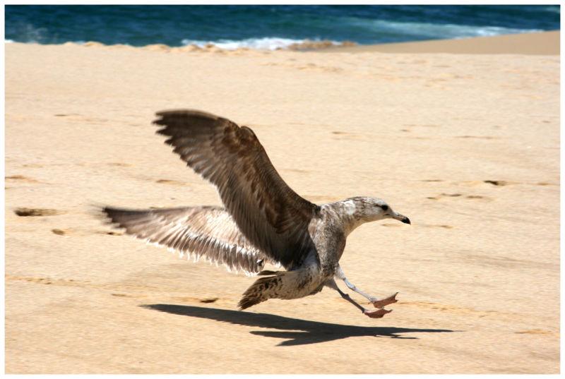 seagull, beach