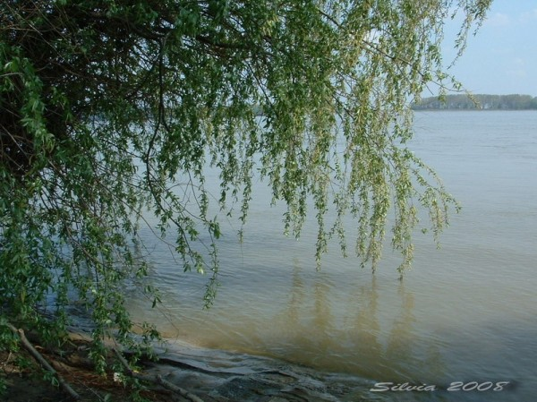 Willow by the Danube in Galati