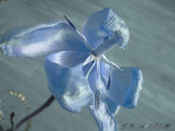 Blue dying tulip