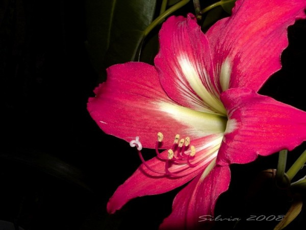 Pink lily in the dark