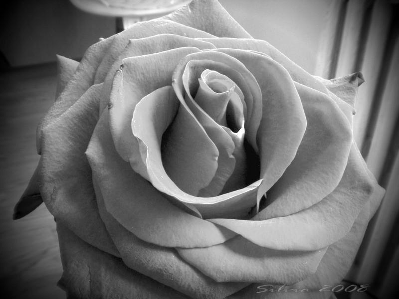 Rose in black & white
