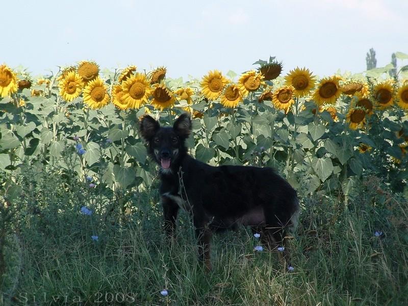 Dog in a sunflower field