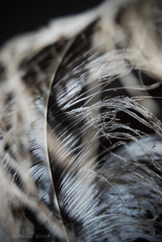 White feather close-up by Silvia Colombo