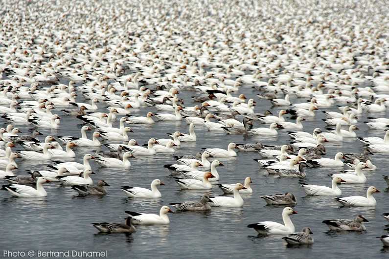 Oies des neiges - Snow geese