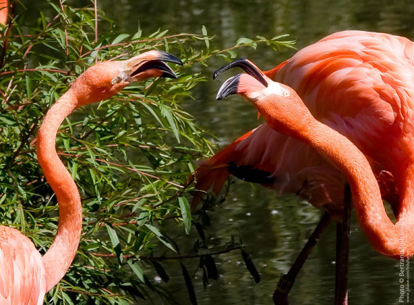 Flamingo talk - Parlons flamant