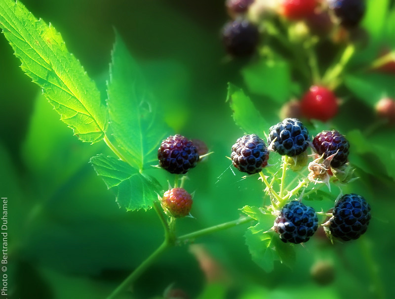 Berries - Petits fruits plants nature reaspberry