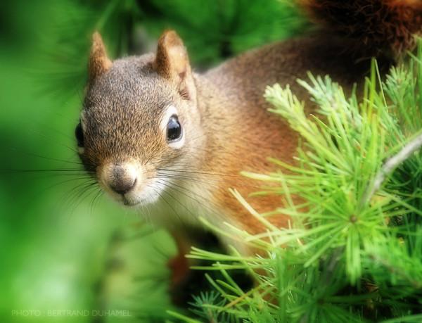 squirel ecureuil tree bertrand duhamel