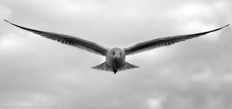 bird oiseau seagull goelan bertrand duhamel wings