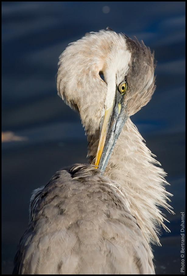 Great blue heron - Grand héron bleu