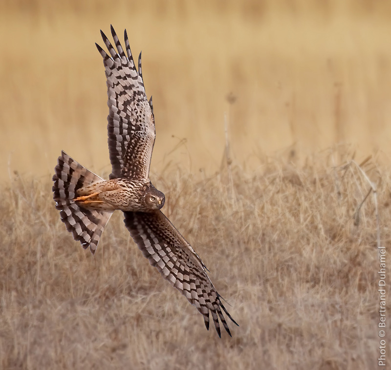 Northern Harrier - Busard St-Martin