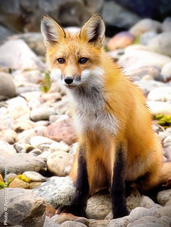 Rex fox