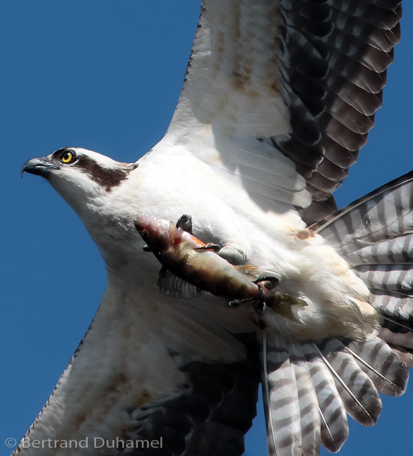 Sushi express !   Osprey at work...