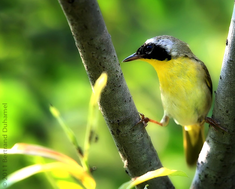 Common Yellowthroat  - Paruline masquée