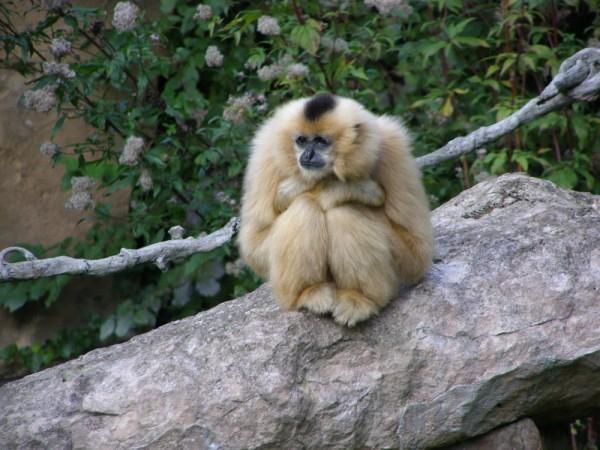 Bored  Gibbon