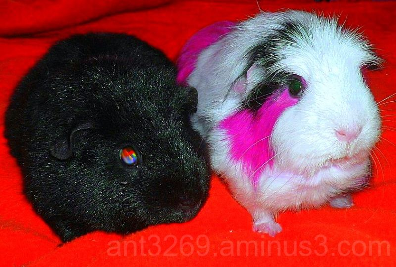 Punky Pigs