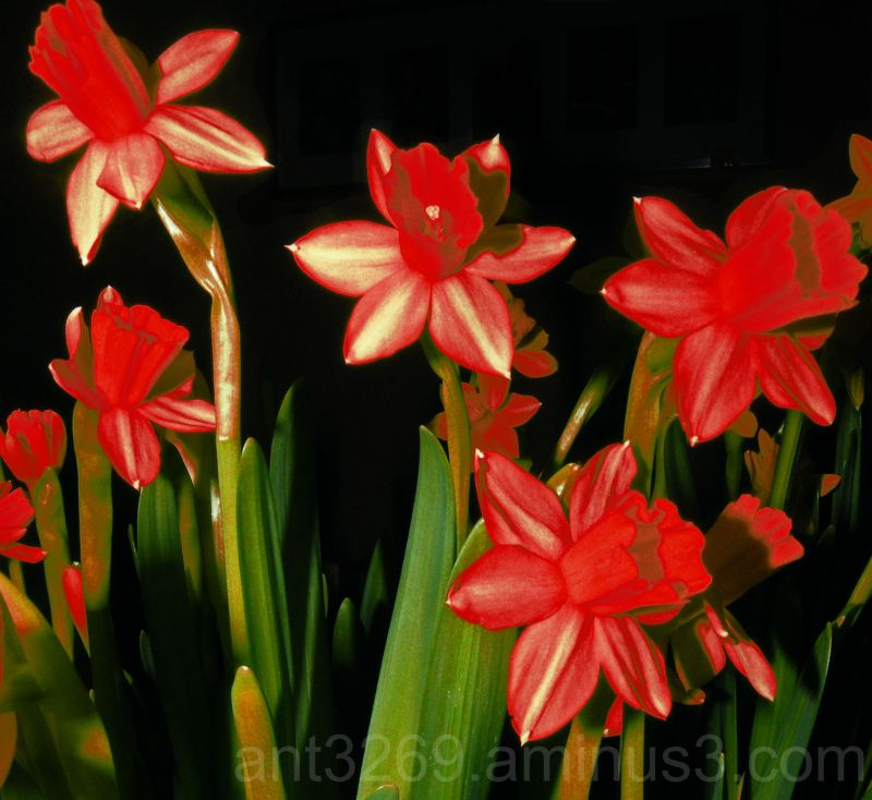 Red Daffodils