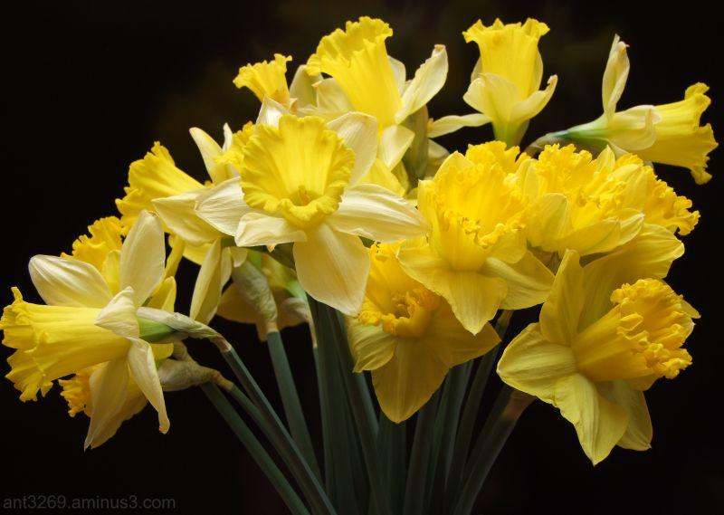 Yellow daffodils !!