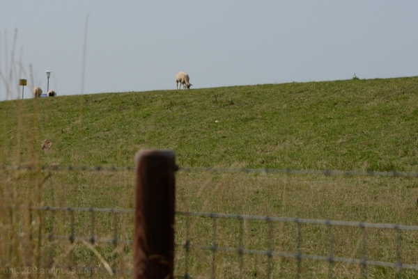 Sheep on a dyke.
