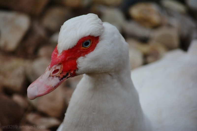 and the Duck