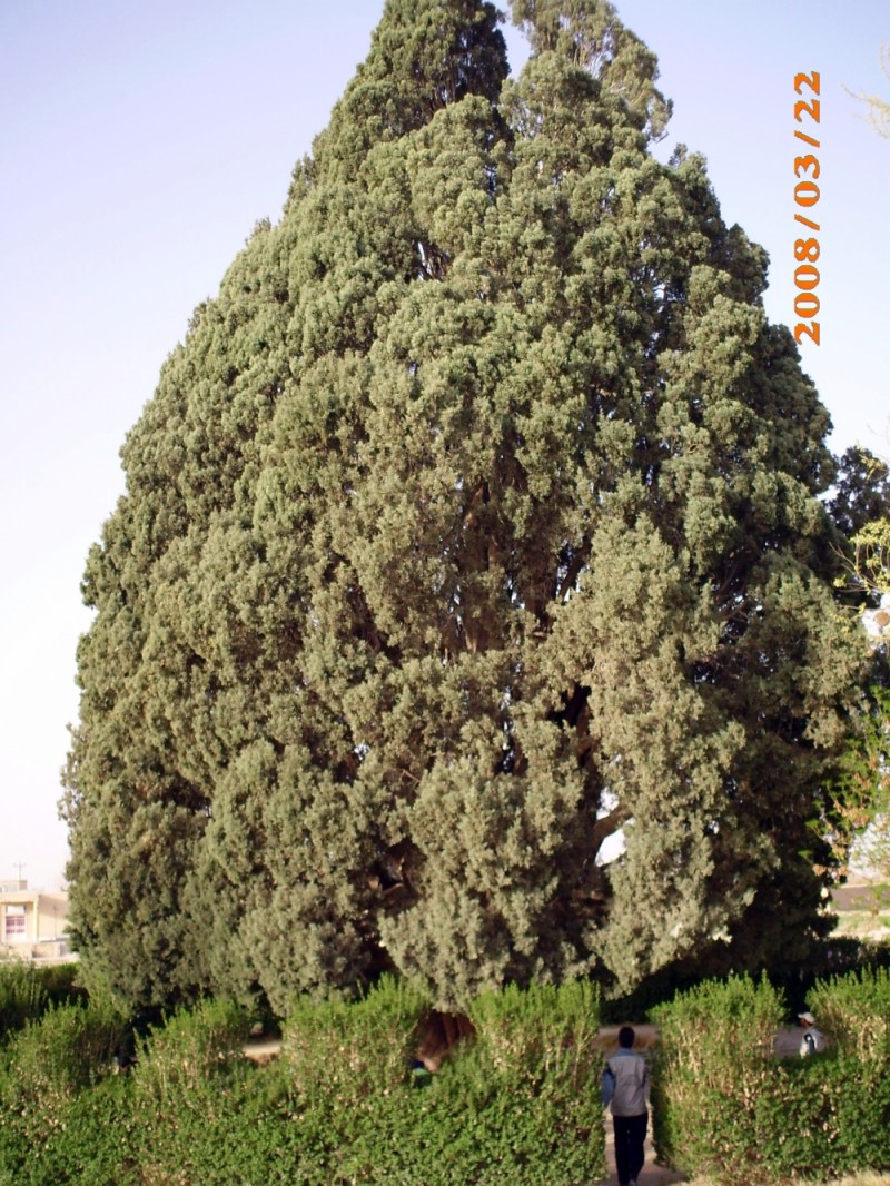 4500 Years Old Cedar