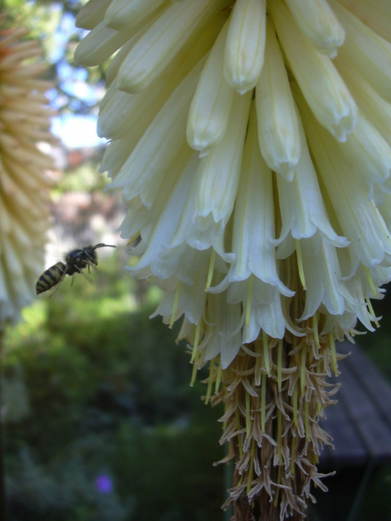 Red Hot Poker and Admirer