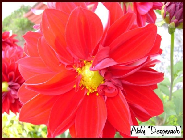 red flower,unfurling petals