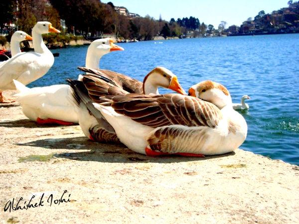 rendezvous by lake,lovers meet,date,duck,swan