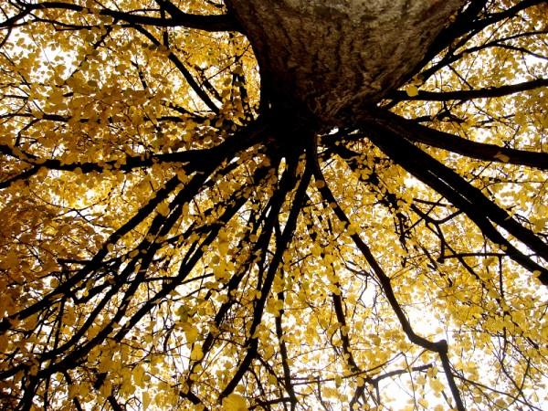 erfurt, yellow, tree