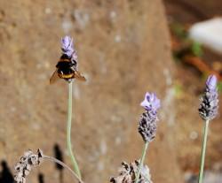 Bee in Jude's garden