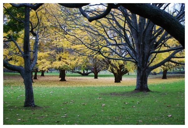 Yellow trees II