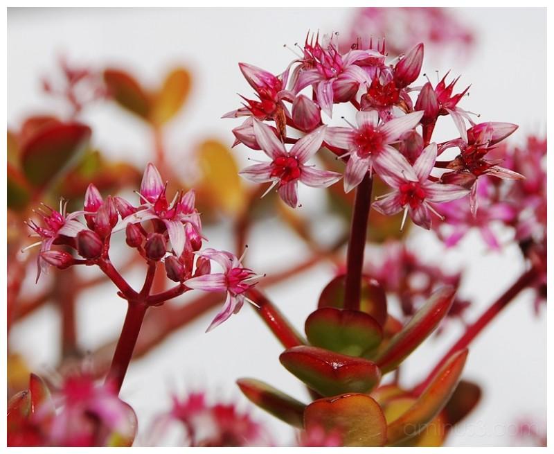 Money tree flowers