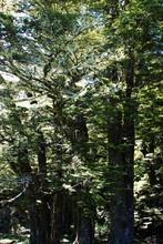 Beech trees near Paradise