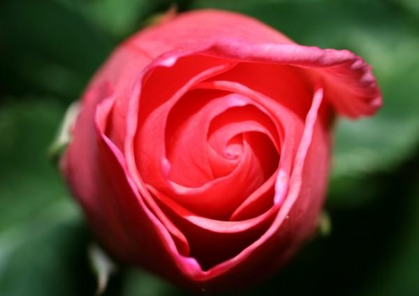 Above Rose