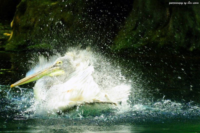The pelican flapping away in the water