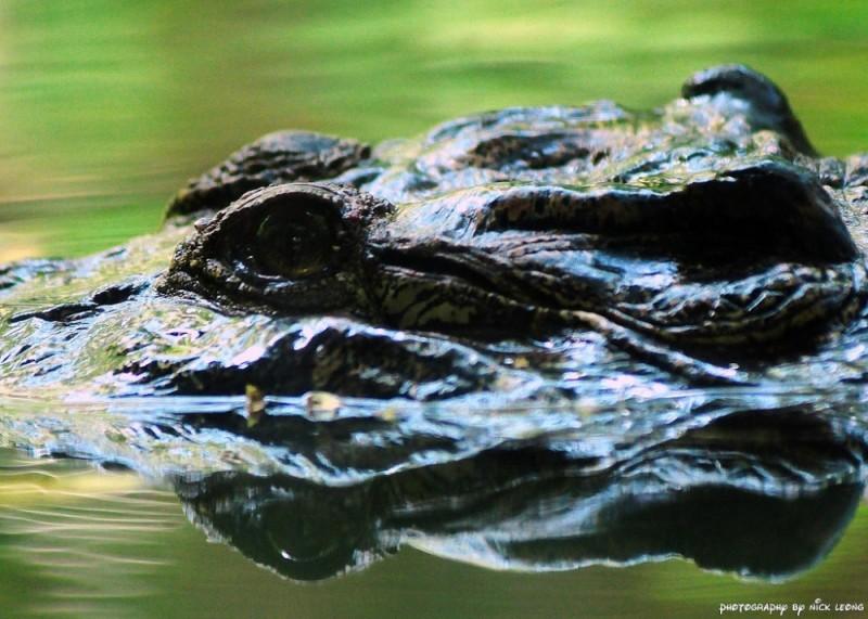 A crocodile in the Singapore Zoo