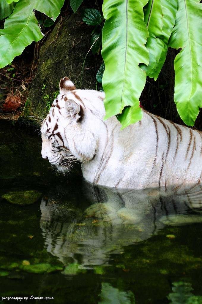 A white tiger resting in the shade