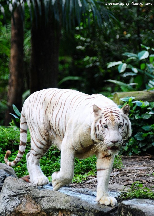 The white tiger at the Singapore Zoo
