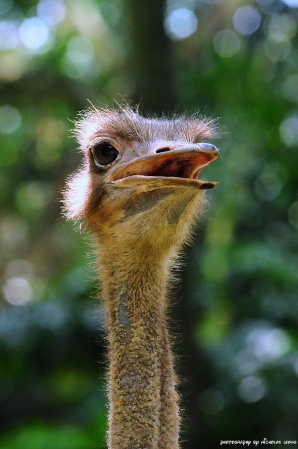 The ostrich at Singapore Zoo