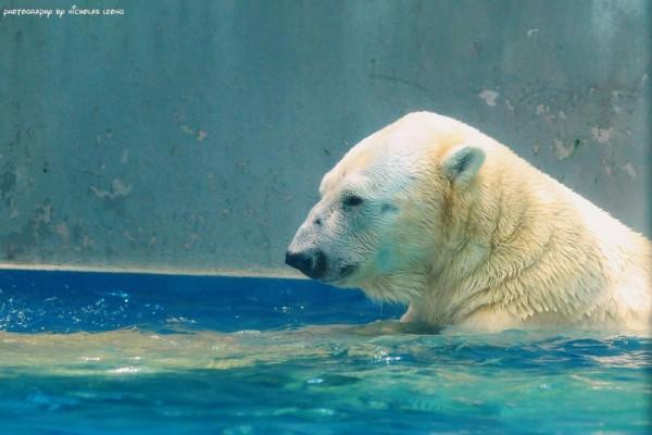 Polar bear relaxing in the pool