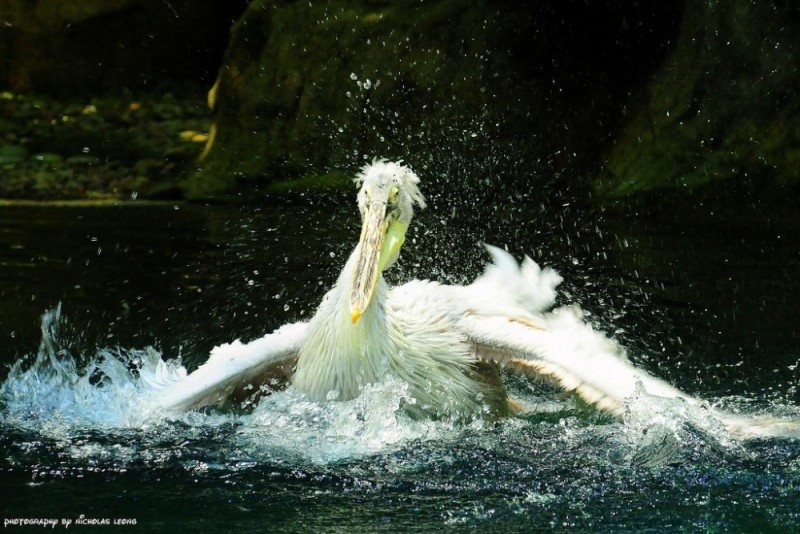 Pelican flapping away