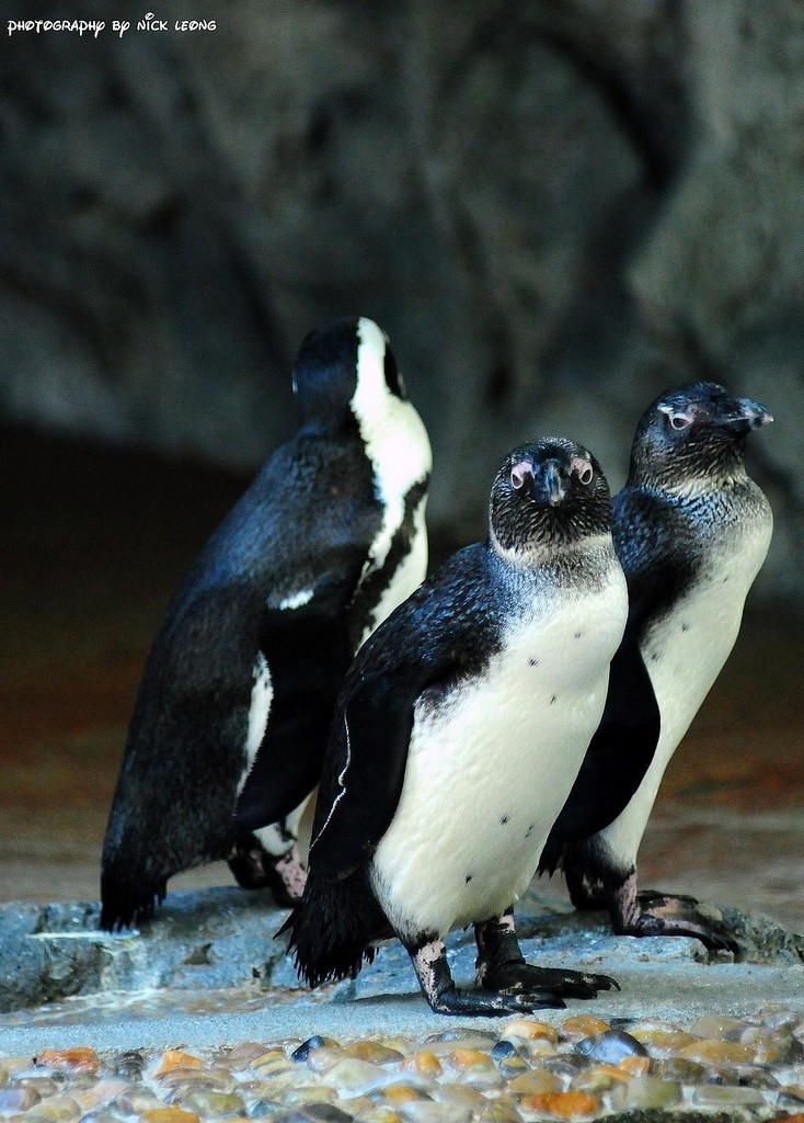 The penguins at Singapore Zoo