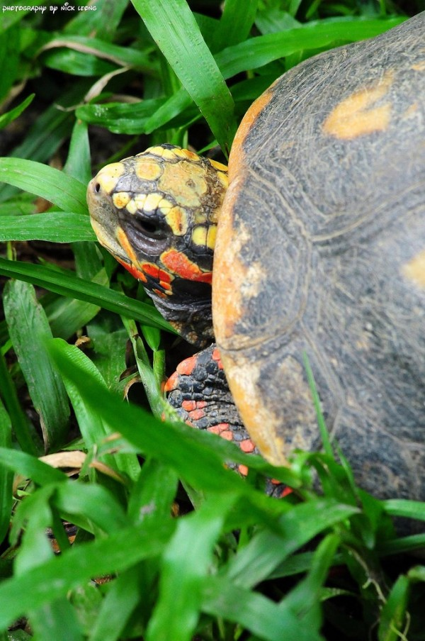 Colourful tortoise at Singapore zoo
