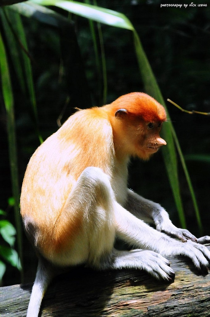 Proboscis monkey at the Singapore Zoo