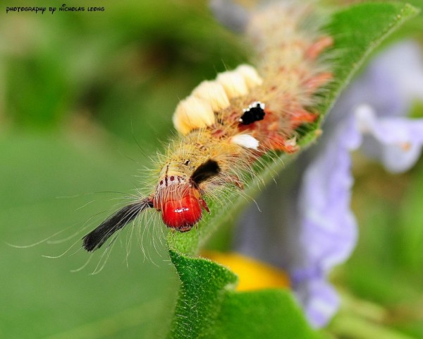 A Tussock Moth Caterpillar