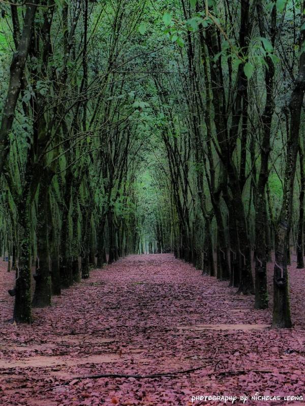 A rubber plantation