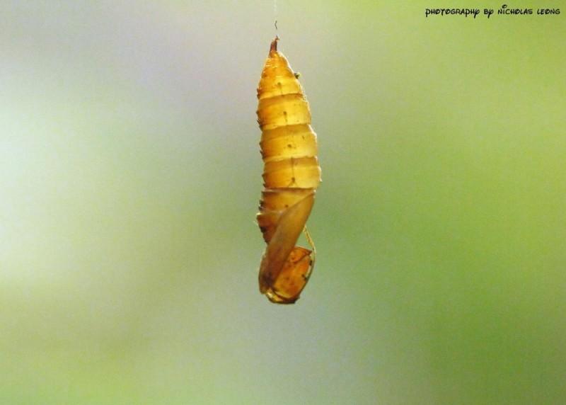 A larvae