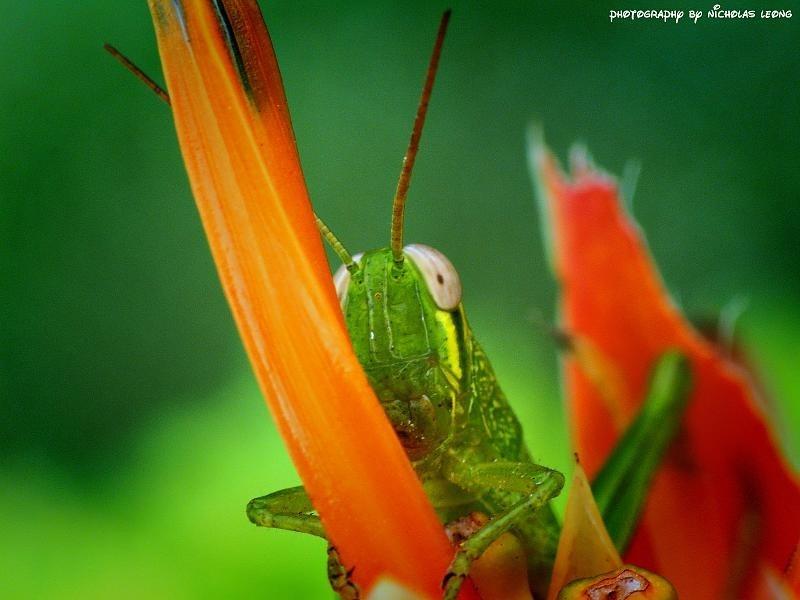 A grasshopper