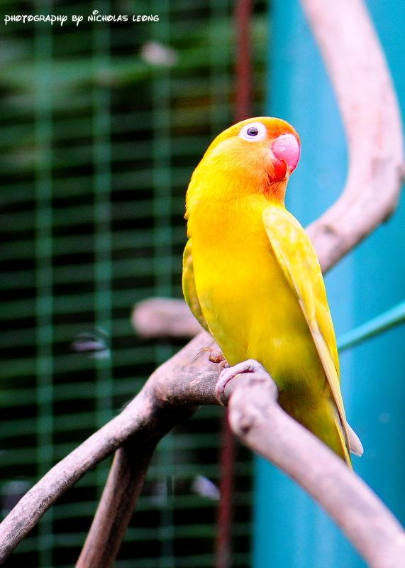 A yellow love bird