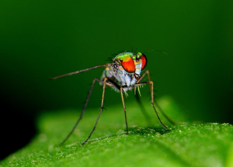 A long-legged fly